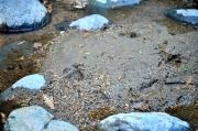 沢の砂地に残されたイノシシの足跡