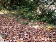 コナラの落ち葉一杯の散策道
