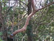 特徴的な樹皮のシャシャンボ