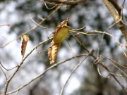 コナラの枝先のヤママユのまゆ