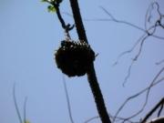 コガタスズメバチの巣あと