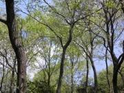 コナラ林の新緑