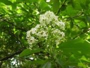恒川本に出ていたゴマキの花