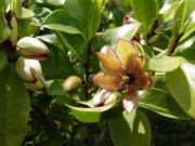 カラタネオガタマの花 造園木