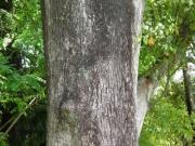クスノキの樹皮