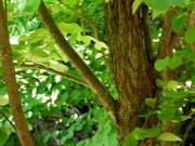 カツラの樹皮