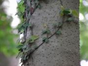 アオハダの樹皮 クロバイに酷似