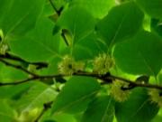 アオハダの花