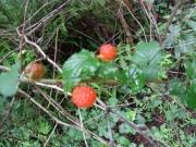 ニガイチゴの果実