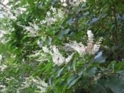 満開のリョウブの花