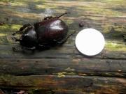 矮小化したカブトムシ