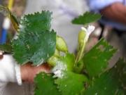 オシヒシの花