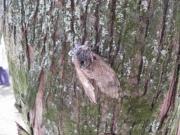 クロマツの樹皮にあったクマゼミの冬中夏草