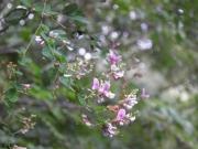 ツクシハギ(在来種)