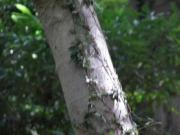 アオハダの樹皮