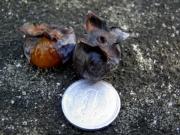 1円硬貨とシナノガキ
