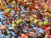 モミジバフウの果実