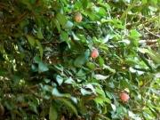 三の丸会館のオオイタビの果実