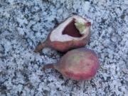 オオイタビの果実の様子