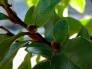 カラタネオガタマの冬芽