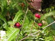 コバノガマズミの果実