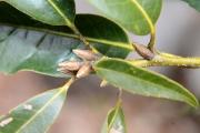 シラカシの冬芽
