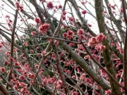 ハナノキ(植栽)の雄花の開花