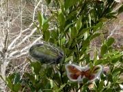 クスサンの幼虫と成虫の模型