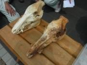 イノシシの頭骨