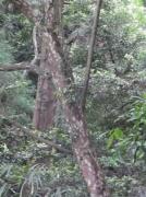 カゴノキの樹皮