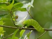 ヤママユの幼虫