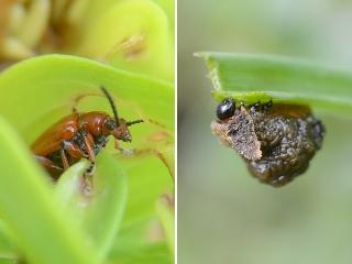 ユリナガクビハムシの幼虫と成虫