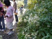 アサギマダラの食草のヒヨドリバナ