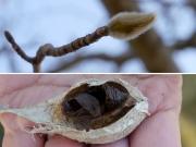 コブシの冬芽とガの抜け殻