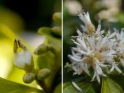 フッキソウの果実と雄花