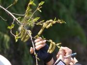 オオバヤシャブシの花