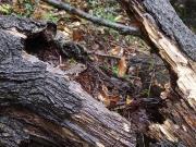 巣材が確認できるムササビの古い巣