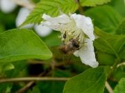 クサイチゴの花とニホンミツバチ