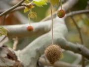 スズカケノキの花と果実
