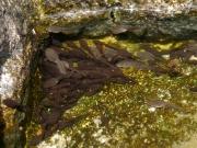 後ろ足が生えつつあるオタマジャクシ
