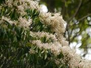 クロバイの花