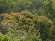 クスノキの春の紅葉