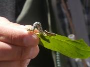 ヒョウモンエダシャクとハバチの幼虫