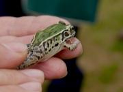 トノサマガエルとナゴヤダルマガエルの両方の特徴を持つカエル