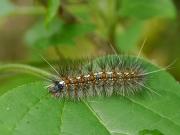 クワゴマダラヒトリの幼虫