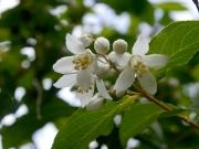 「夏は来ぬ」に唄われている「卯の花」