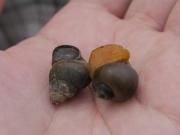 タニシ(左)とジャンボタニシ(スクミリンゴガイ)(右)