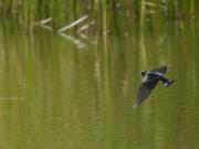 修景庭園の池で水浴びをするツバメ