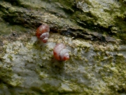 ベニゴマオカタニシ