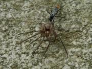 アシダカグモを捕食したベッコウクモバチ